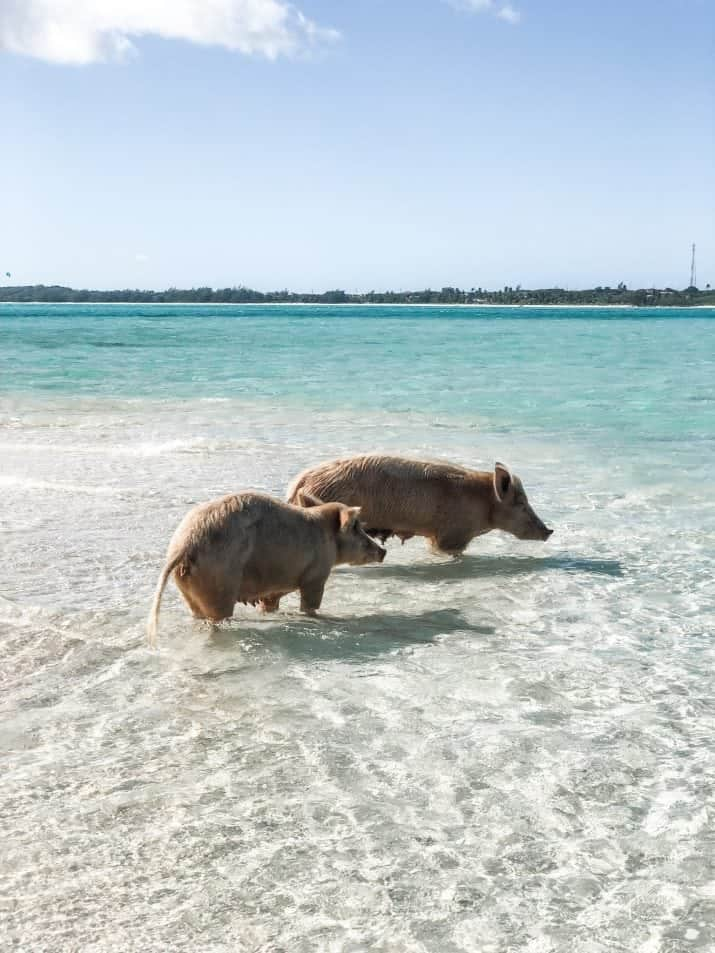 picture of bahamas swimming pigs